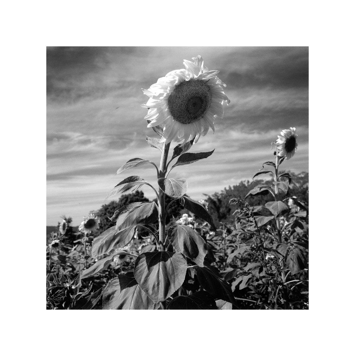 266-Sunflowers,-Ulster-county 3.jpg