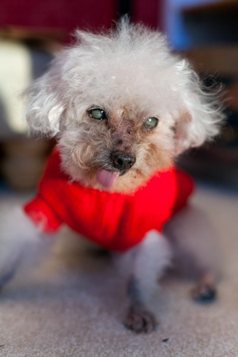Blind old poodle