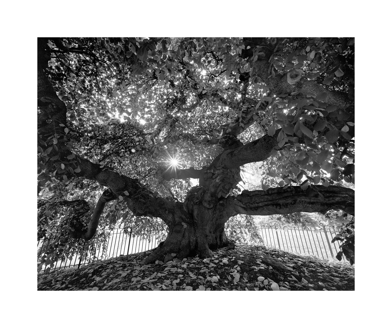 Camperdown-Elm-working-Edit-Edit-Edit.jpg