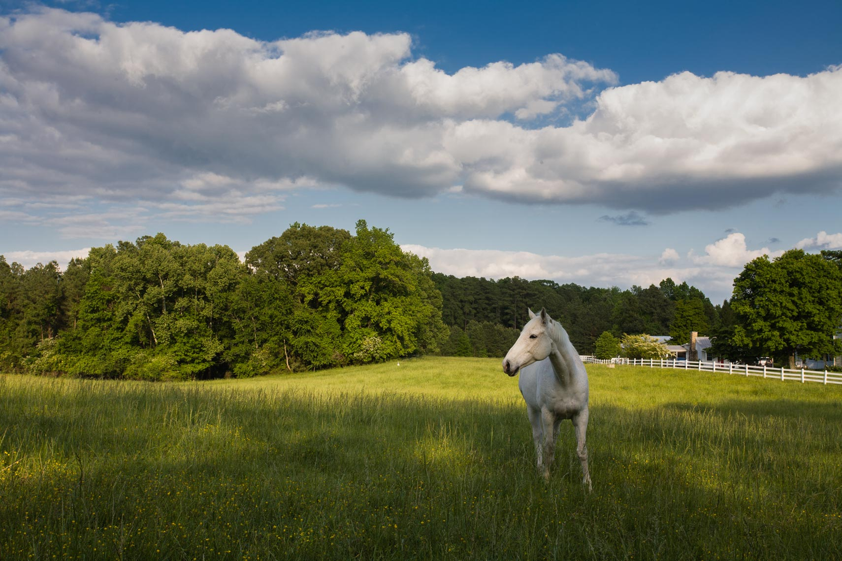 White horse in a field, Chapel Hill, NC